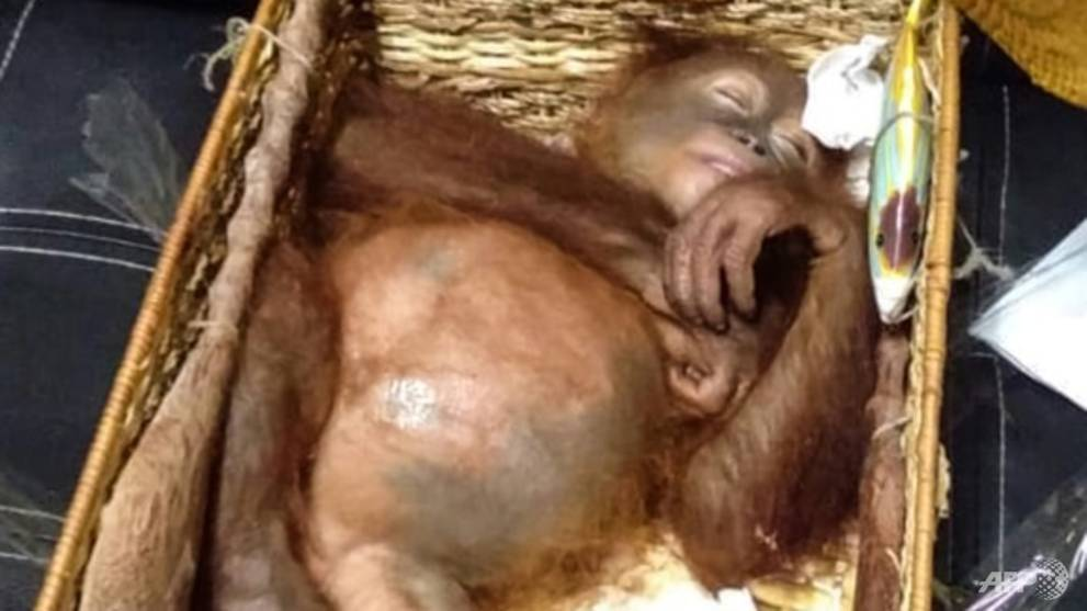 Indonesia detains Russian suspected of drugging, smuggling orangutan