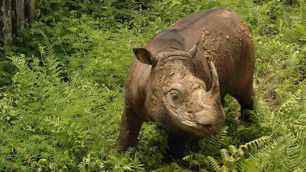 Malaysia's last surviving male Sumatran rhinoceros in poor health