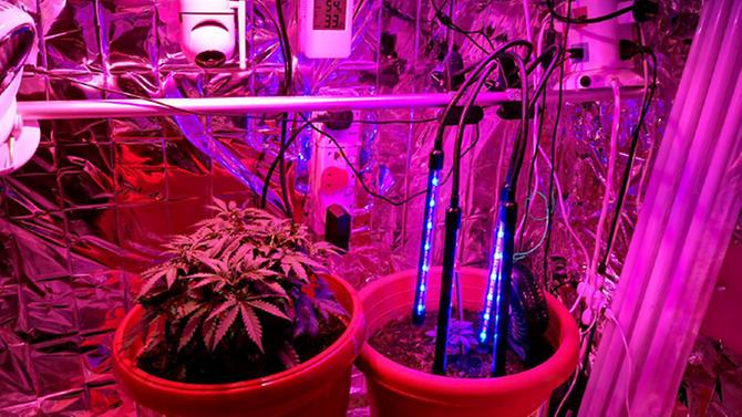 cannabis-plants-seized-in-cnb-raid-on-yi