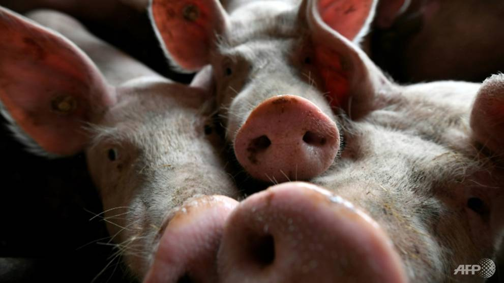 Russia reports African swine fever outbreak near China border