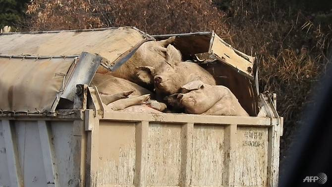 Bantai 380.000 Babi, Sungai Korea Selatan Seketika Berubah Jadi Merah