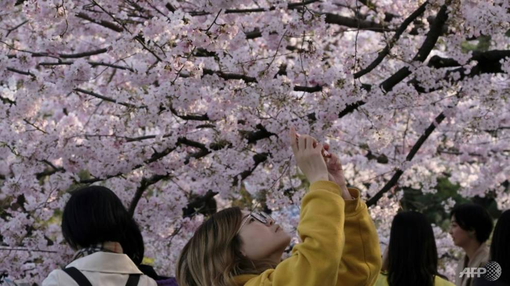 Japan cherry blossom festivals cancelled as COVID-19 fears grow