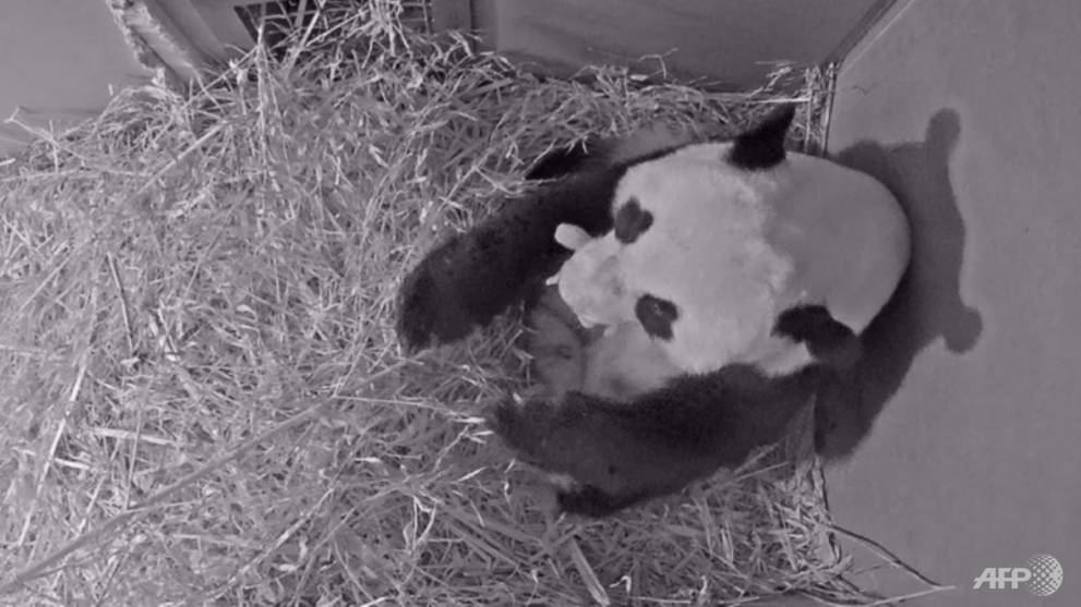 First giant panda born in Netherlands