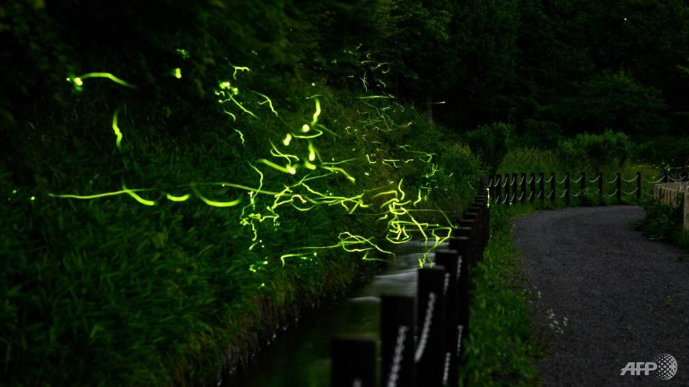 With festival cancelled by coronavirus, Japan fireflies dance alone
