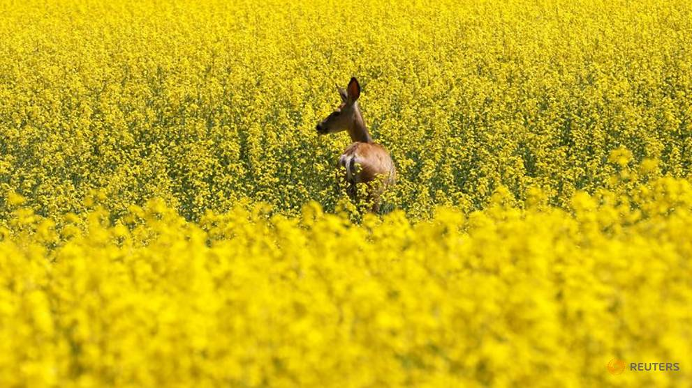 'Like gold': Canadian canola prices spike as shippers find back door to China