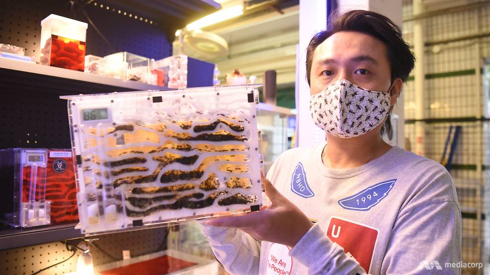 Fancy ant-keeping as a hobby? This ant collector in Singapore left his job  to open an ant shop | Video - CNA