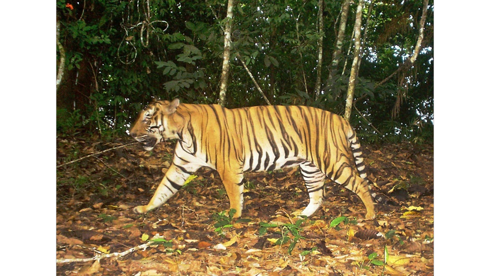 Malaysia's wildlife department confirms tiger spotted in Terengganu