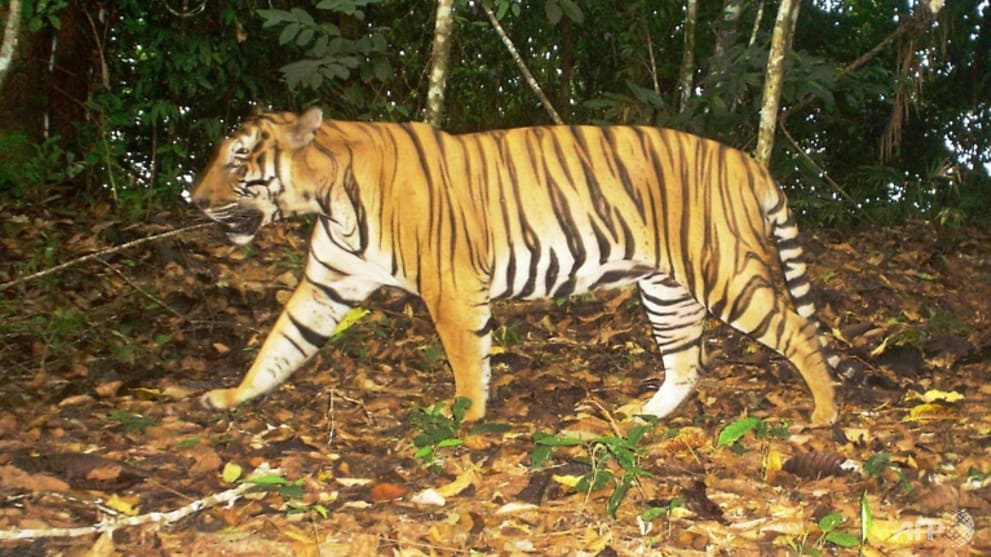 Tigers spotted in Terengganu could be pets: Malaysian Wildlife