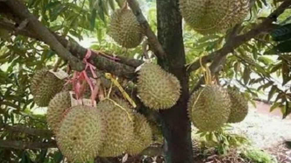 New royal durian may dethrone Musang King - CNA