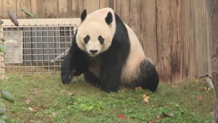 Panda Bei Bei bids farewell to US, heads 'home' to China | Video