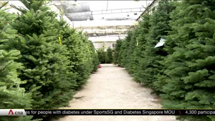 Prices for Christmas trees, decorations rise as costs increase | Video
