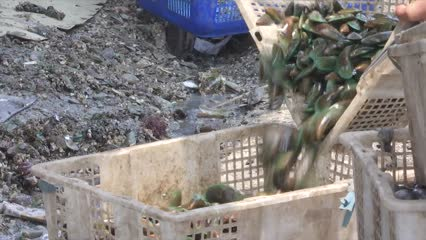 Pollution takes its toll on green mussel cultivation in Jakarta | Video