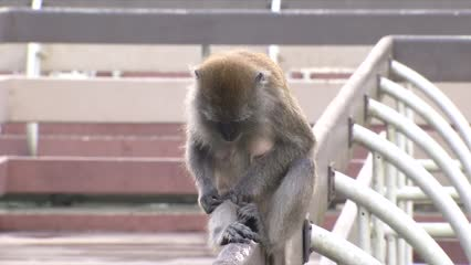 No feeding campaign launched to warn public against feeding monkeys | Video