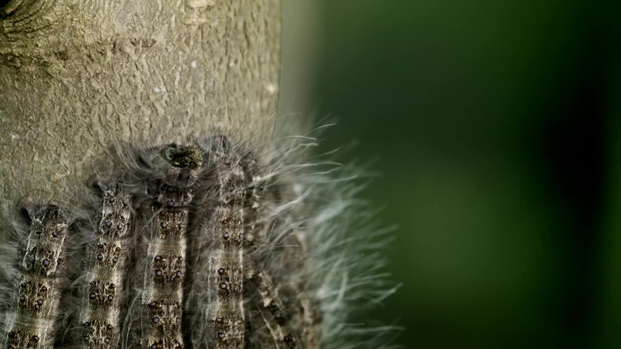 The Moth Caterpillar