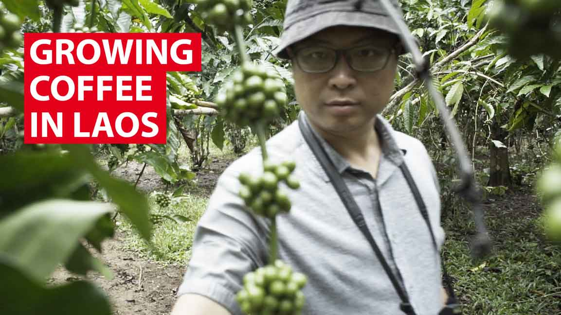 Growing coffee in Laos