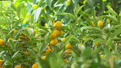 Pricier kumquat trees this Chinese New Year season | Video