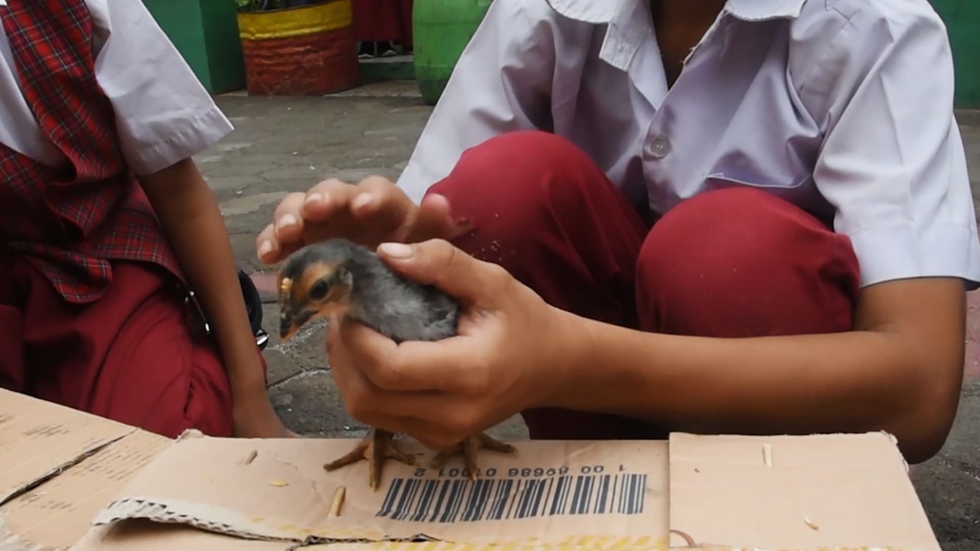 Bandung's chicken controversy | Video
