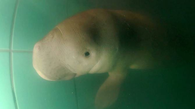 Why Thailand's critically endangered dugongs are dying | Video