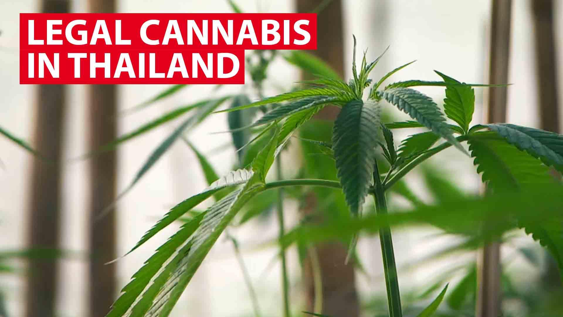 Inside Thailand's first legalised cannabis plantation