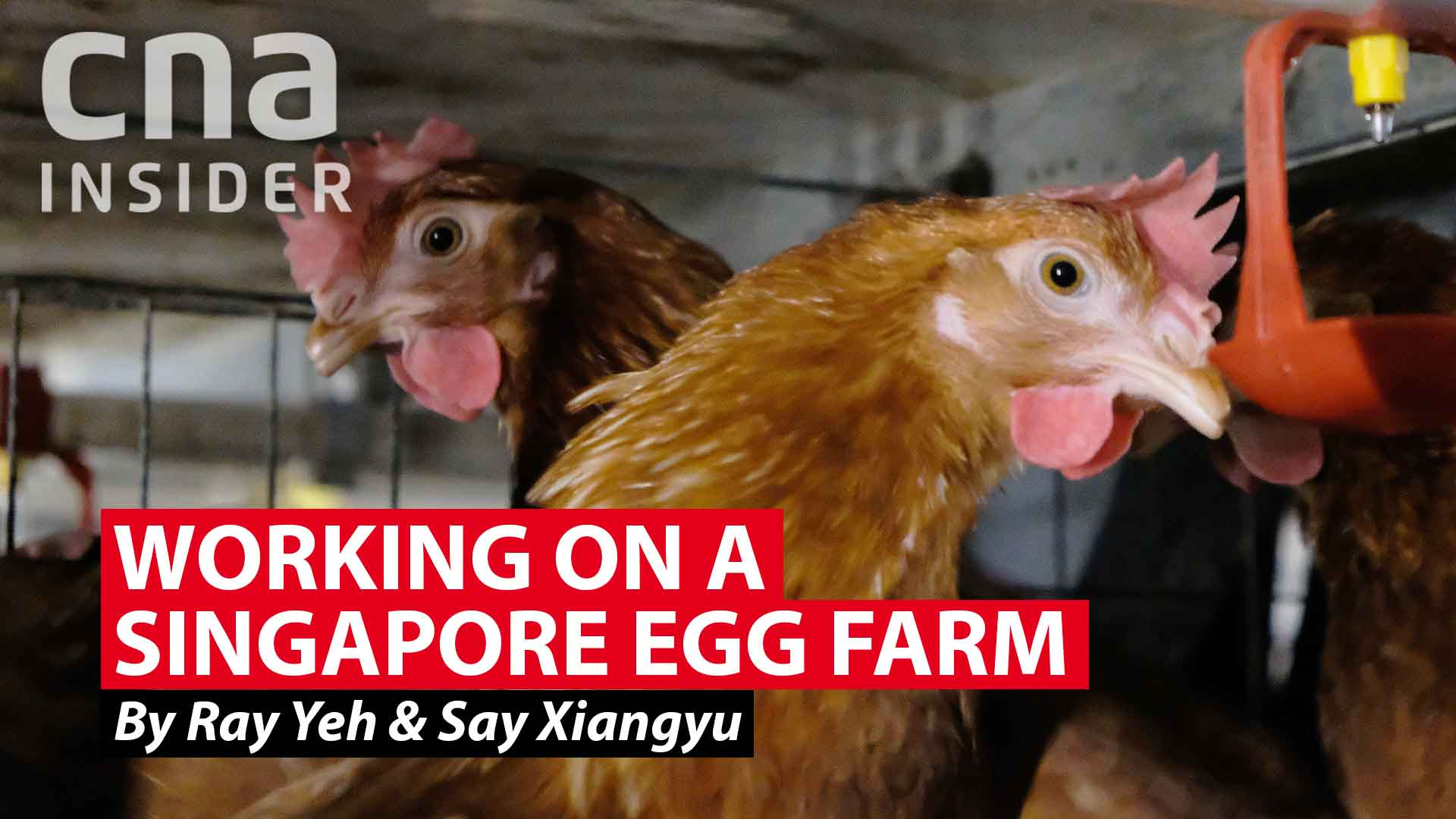 Working on a Singapore egg farm