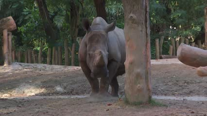 Singapore Zoo's latest addition to white rhino family gets her name | Video